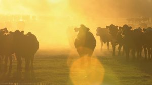 Cattle in the sunset
